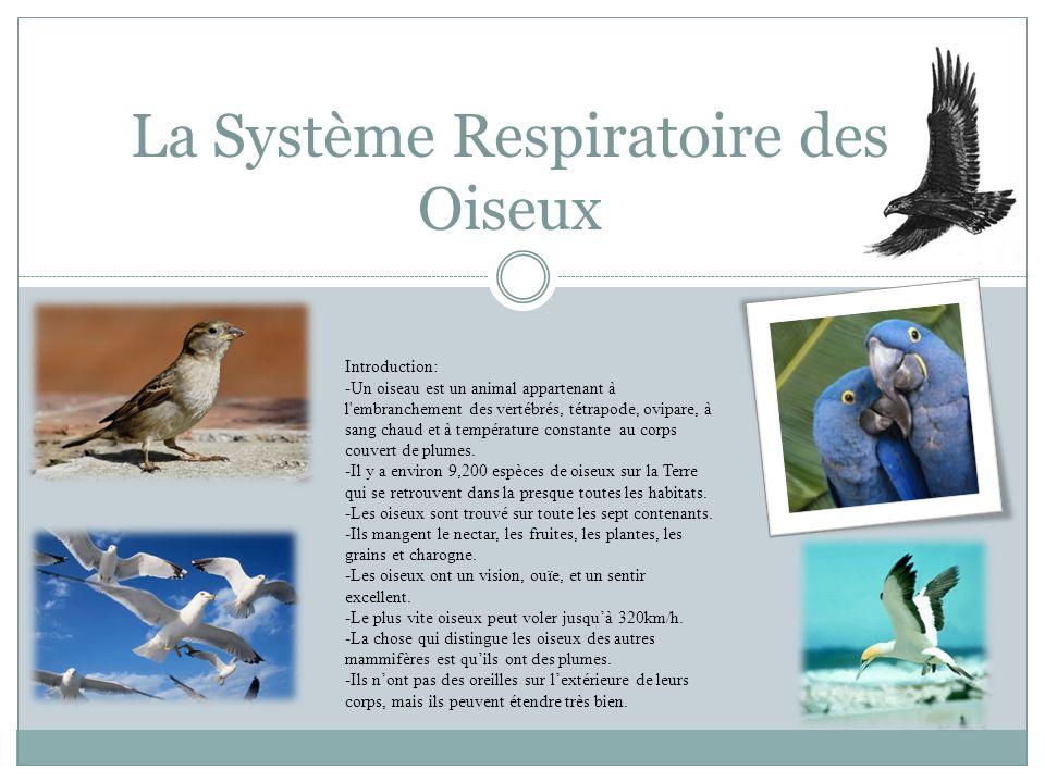 La Système Respiratoire des Oiseux