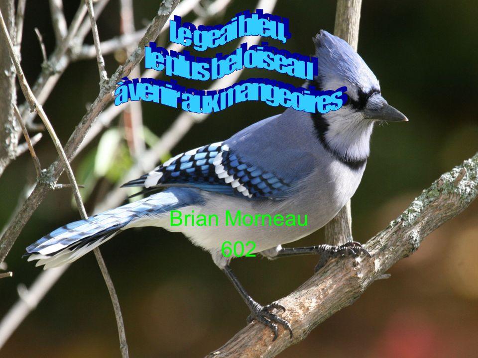 Le geai bleu, le plus bel oiseau à venir aux mangeoires Brian Morneau