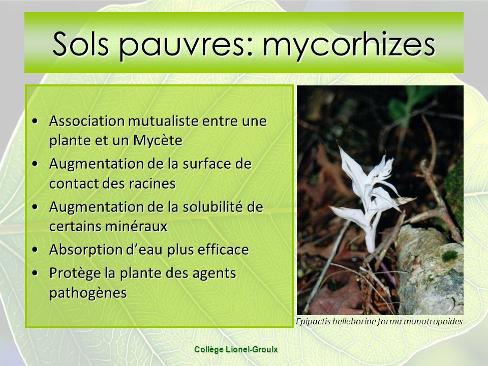 Sols pauvres: mycorhizes