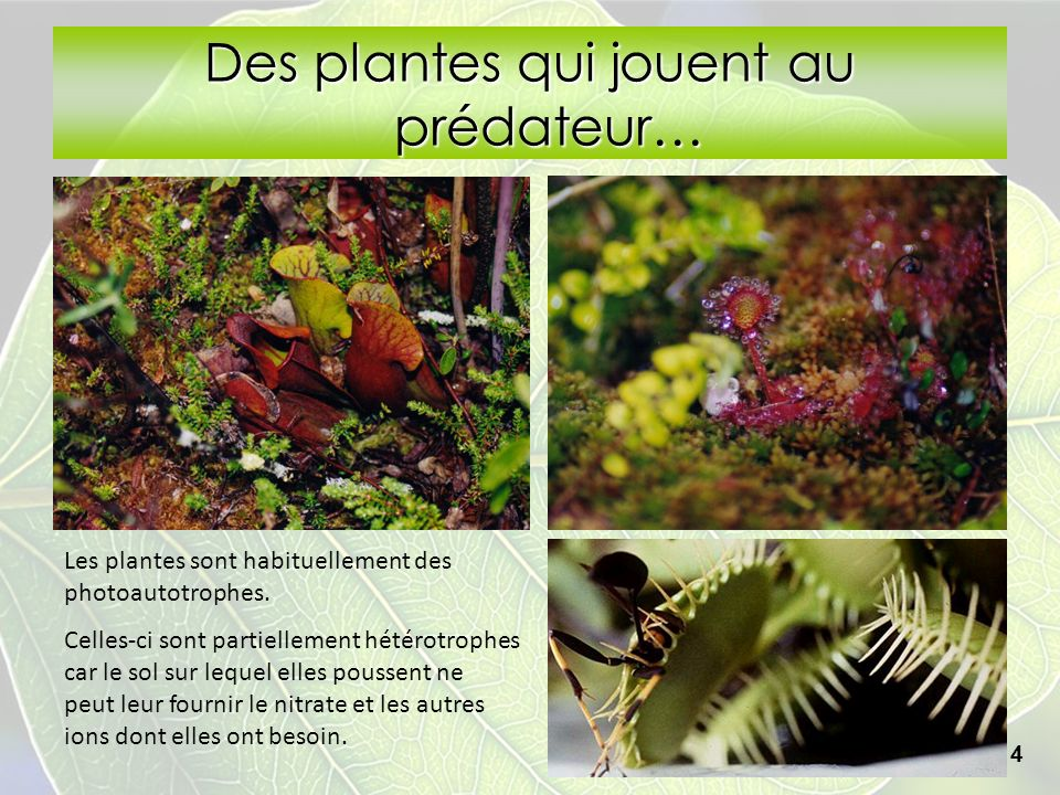 Des plantes qui jouent au prédateur…