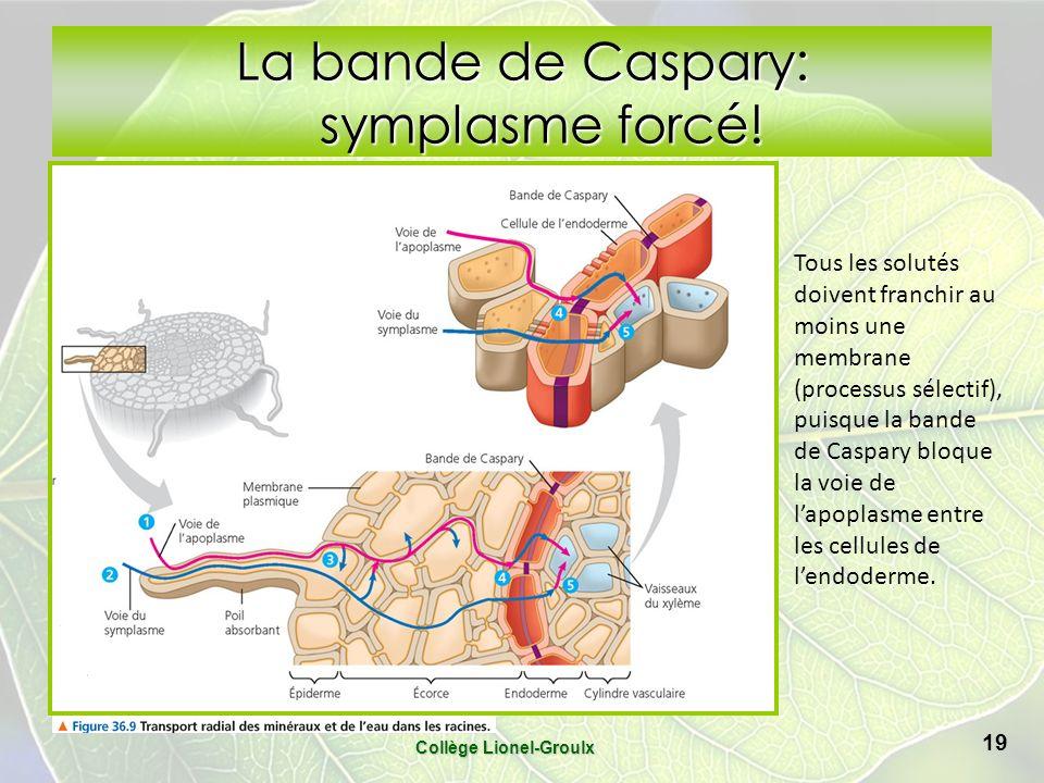La bande de Caspary: symplasme forcé!