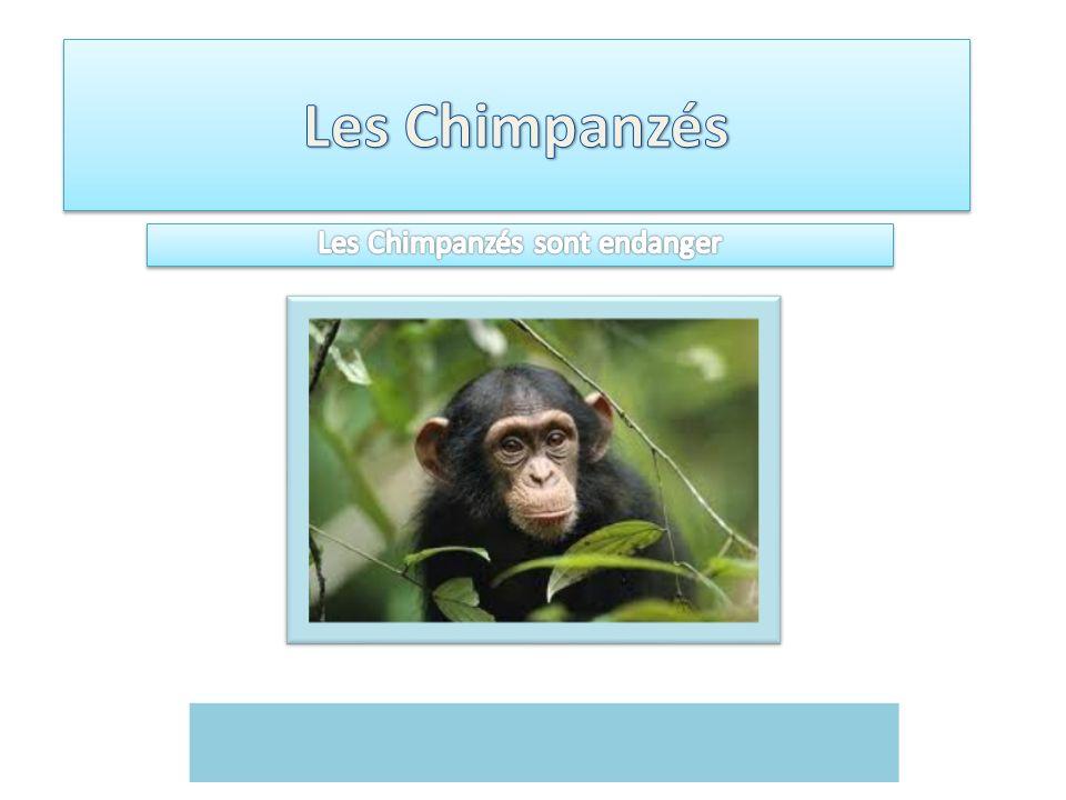 Les Chimpanzés sont endanger