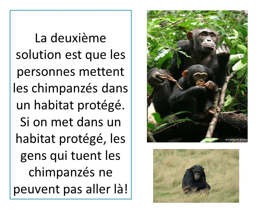 La deuxième solution est que les personnes mettent les chimpanzés dans un habitat protégé.