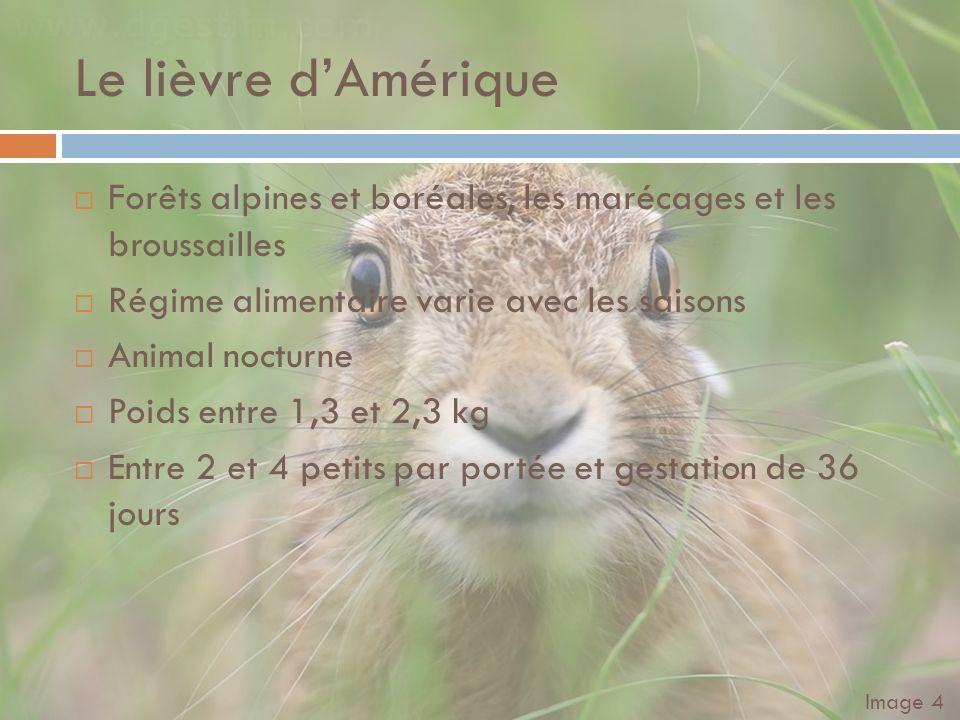 Le lièvre d'Amérique Forêts alpines et boréales, les marécages et les broussailles. Régime alimentaire varie avec les saisons.