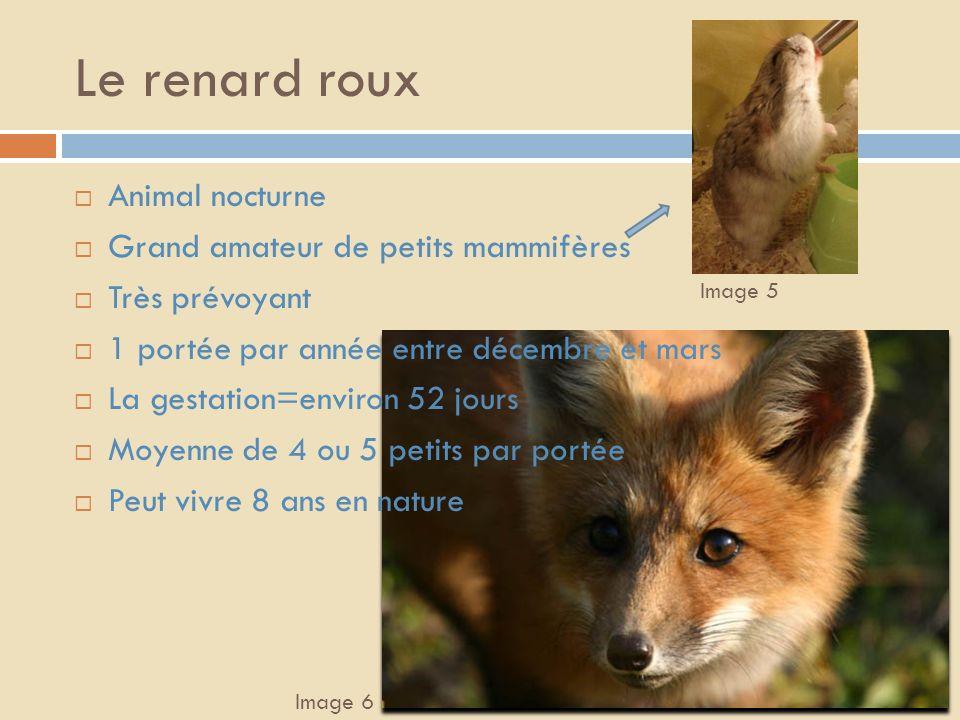 Le renard roux Animal nocturne Grand amateur de petits mammifères
