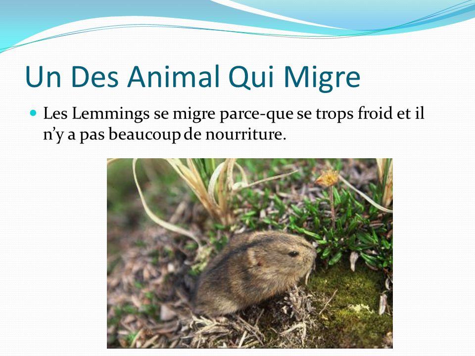 Un Des Animal Qui Migre Les Lemmings se migre parce-que se trops froid et il n'y a pas beaucoup de nourriture.