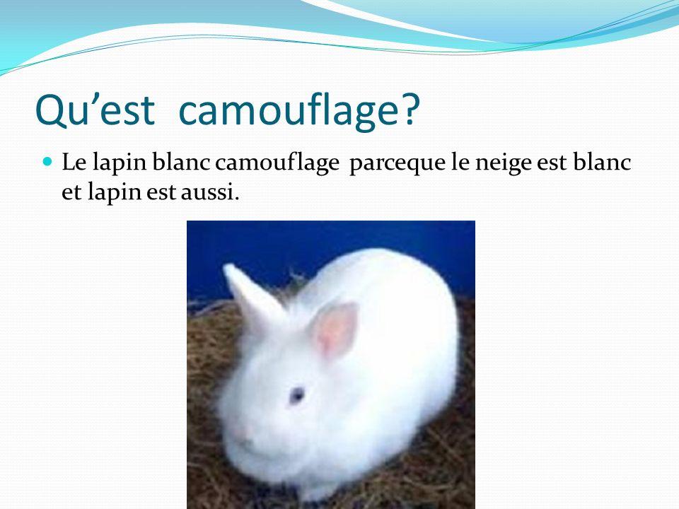 Qu'est camouflage Le lapin blanc camouflage parceque le neige est blanc et lapin est aussi.