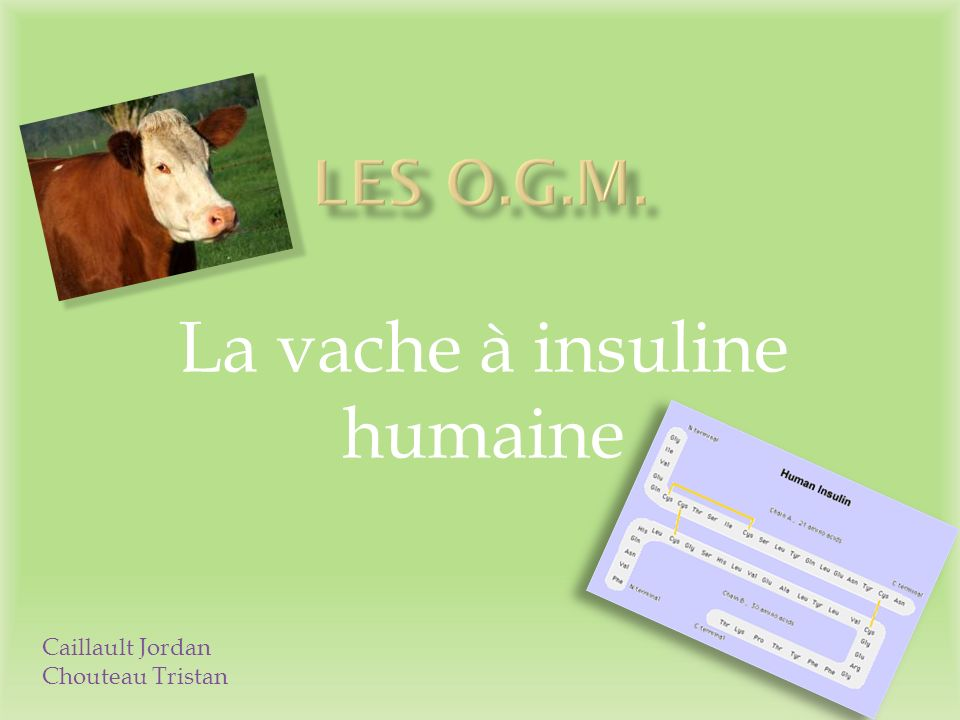 La vache à insuline humaine