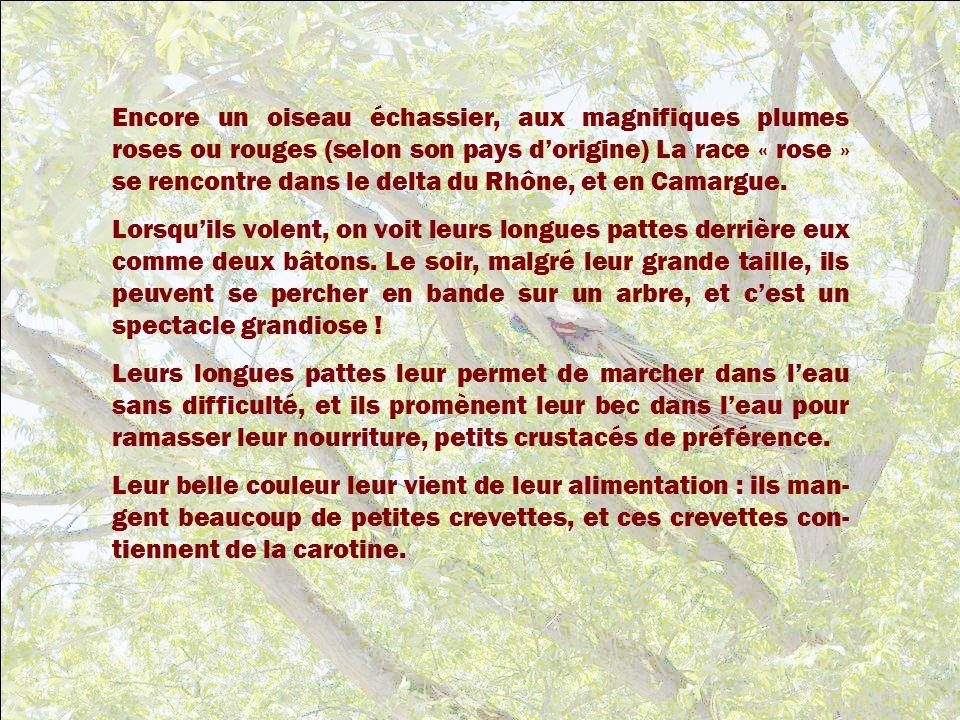 Encore un oiseau échassier, aux magnifiques plumes roses ou rouges (selon son pays d'origine) La race « rose » se rencontre dans le delta du Rhône, et en Camargue.