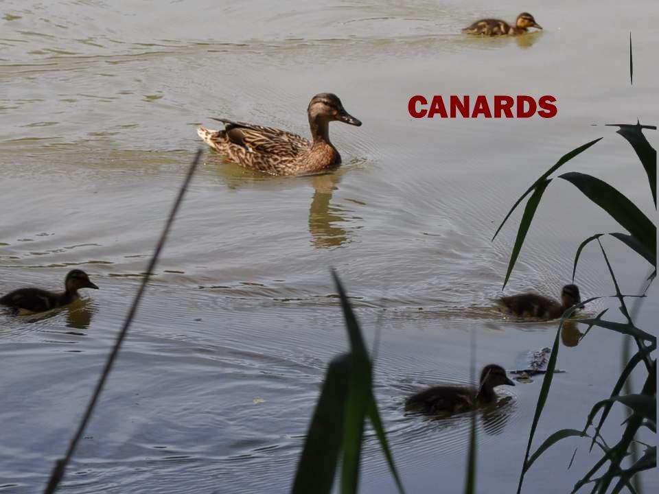 CANARDS CANARDS