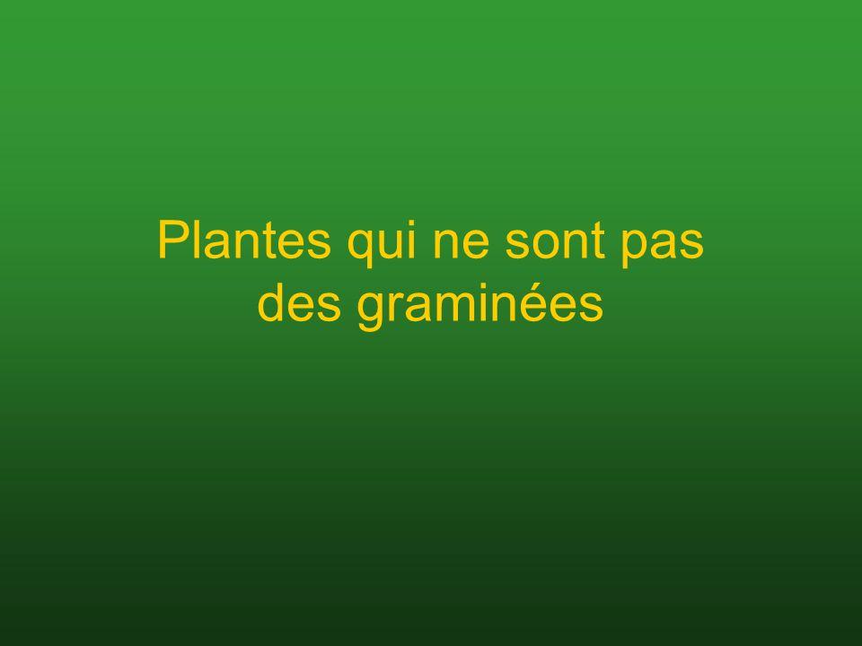 Plantes qui ne sont pas des graminées