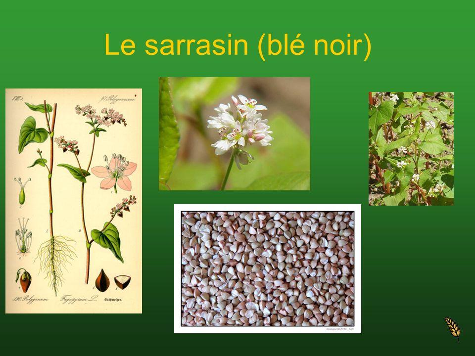 Le sarrasin (blé noir)