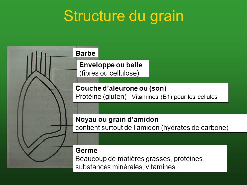 Structure du grain Barbe Enveloppe ou balle (fibres ou cellulose)