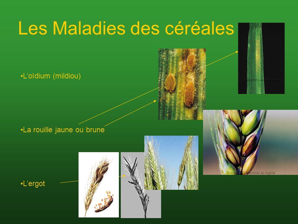 Les Maladies des céréales