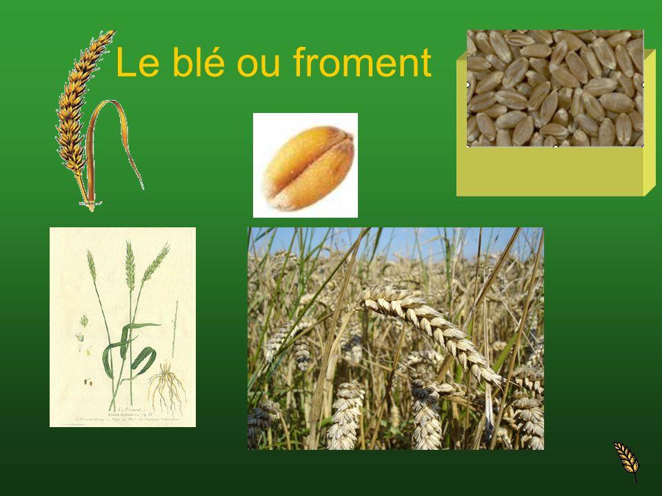 Le blé ou froment