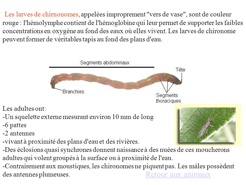 Les larves de chirnonomes, appelées improprement vers de vase , sont de couleur rouge : l hémolymphe contient de l hémoglobine qui leur permet de supporter les faibles concentrations en oxygène au fond des eaux où elles vivent. Les larves de chironome peuvent former de véritables tapis au fond des plans d eau.