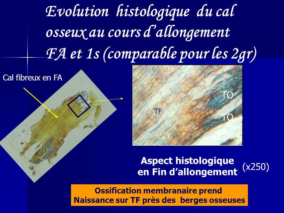 Evolution histologique du cal osseux au cours d'allongement
