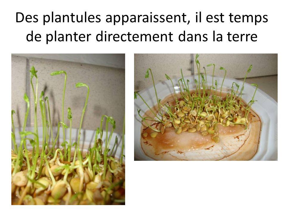 Des plantules apparaissent, il est temps de planter directement dans la terre