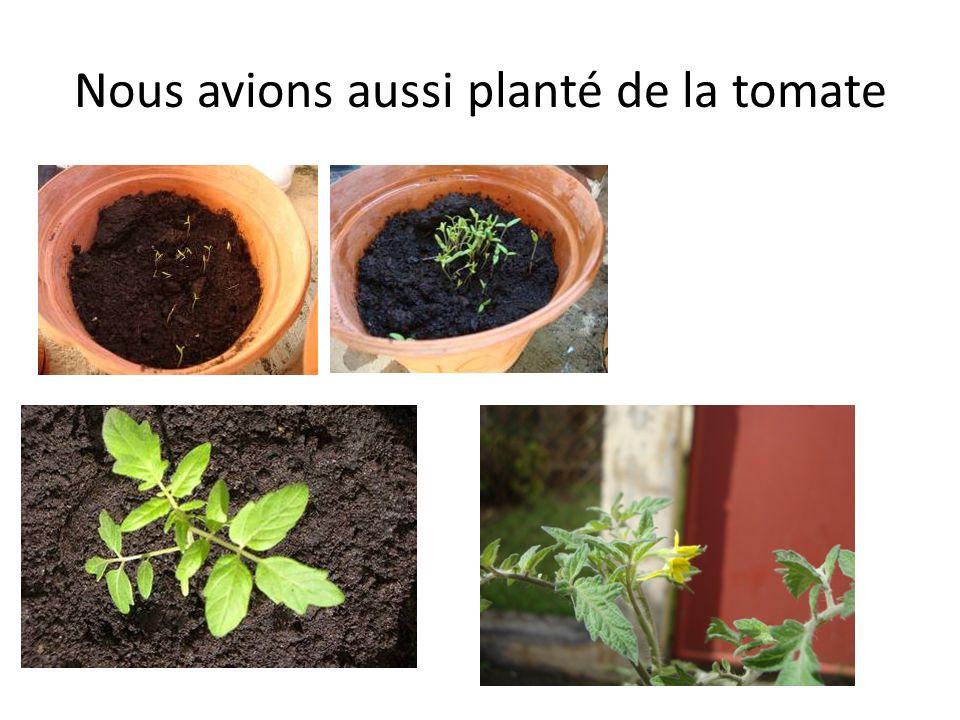 Nous avions aussi planté de la tomate