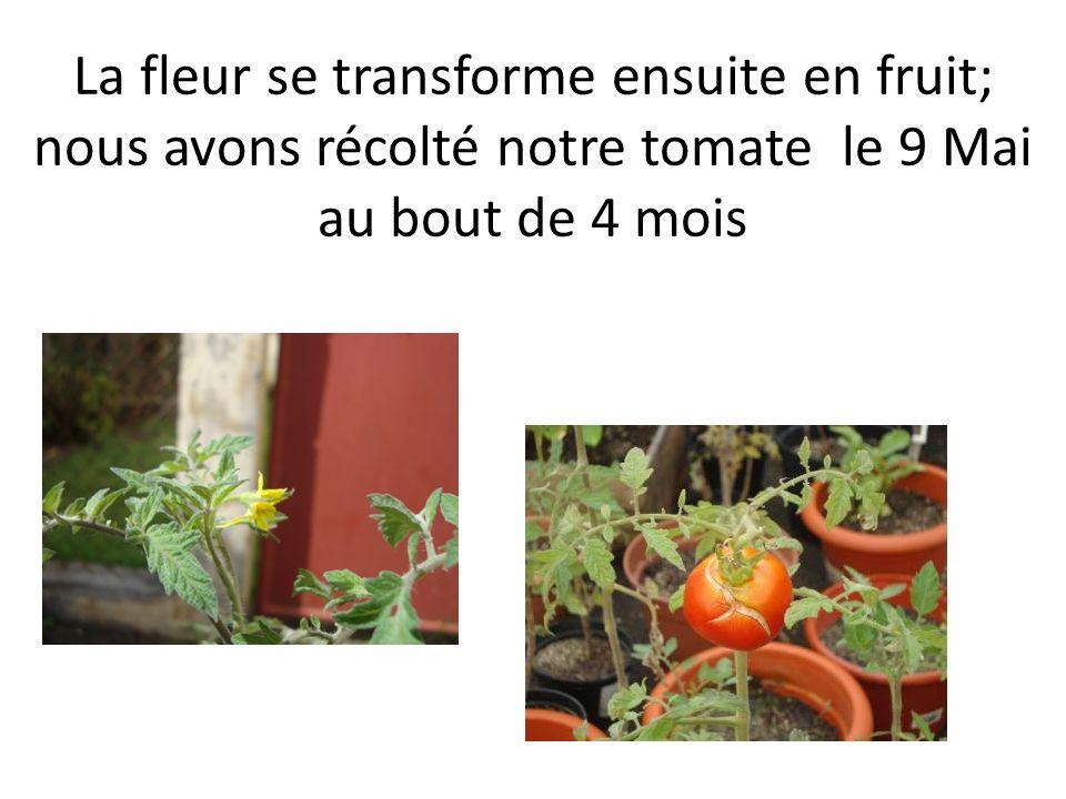 La fleur se transforme ensuite en fruit; nous avons récolté notre tomate le 9 Mai au bout de 4 mois