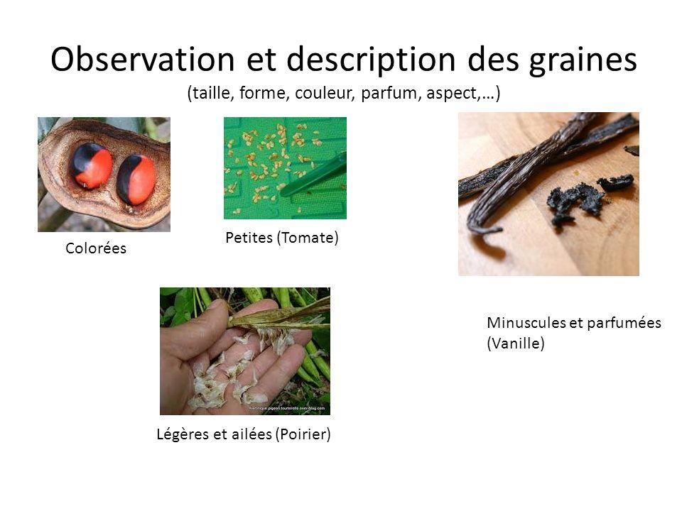 Observation et description des graines (taille, forme, couleur, parfum, aspect,…)
