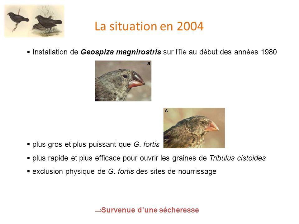 La situation en 2004 Installation de Geospiza magnirostris sur l'île au début des années 1980. plus gros et plus puissant que G. fortis.