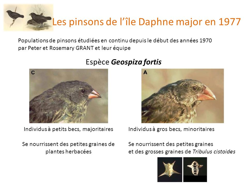 Les pinsons de l'île Daphne major en 1977