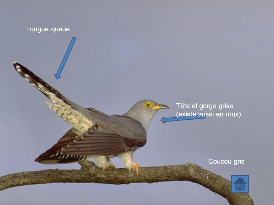 Longue queue Tête et gorge grise (existe aussi en roux) Coucou gris