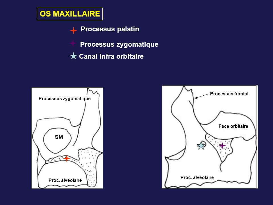 OS MAXILLAIRE Processus palatin Processus zygomatique