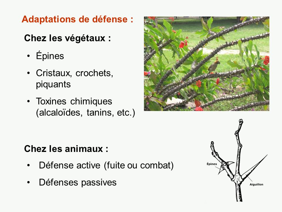 Adaptations de défense :