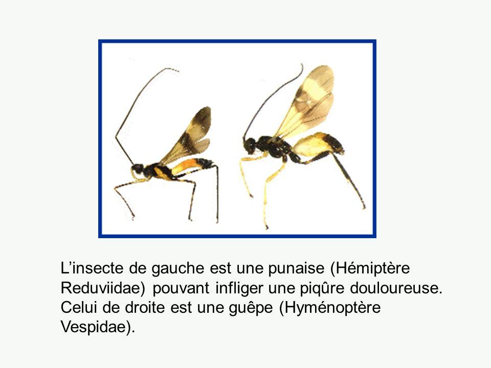 L'insecte de gauche est une punaise (Hémiptère Reduviidae) pouvant infliger une piqûre douloureuse.