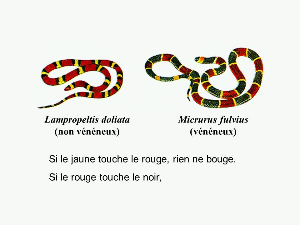 Lampropeltis doliata (non vénéneux) Micrurus fulvius (vénéneux)