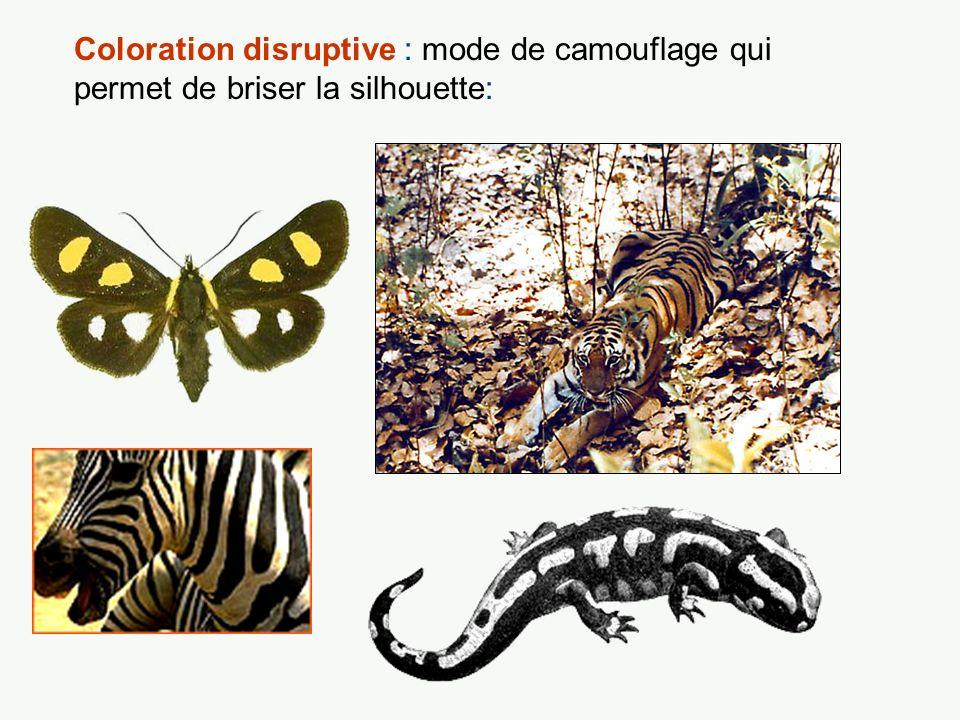 Coloration disruptive : mode de camouflage qui permet de briser la silhouette:
