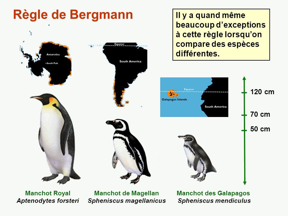 Règle de Bergmann Il y a quand même beaucoup d'exceptions à cette règle lorsqu'on compare des espèces différentes.