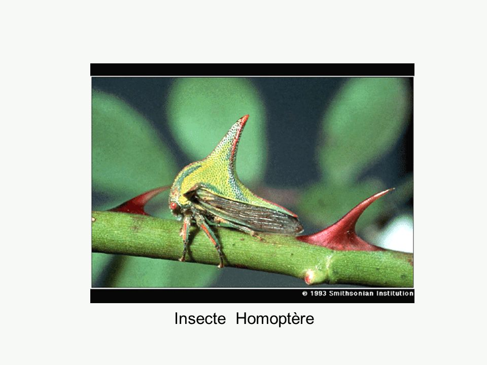 Insecte Homoptère