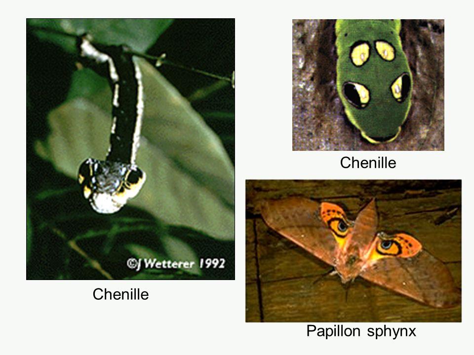 Chenille Papillon sphynx Chenille