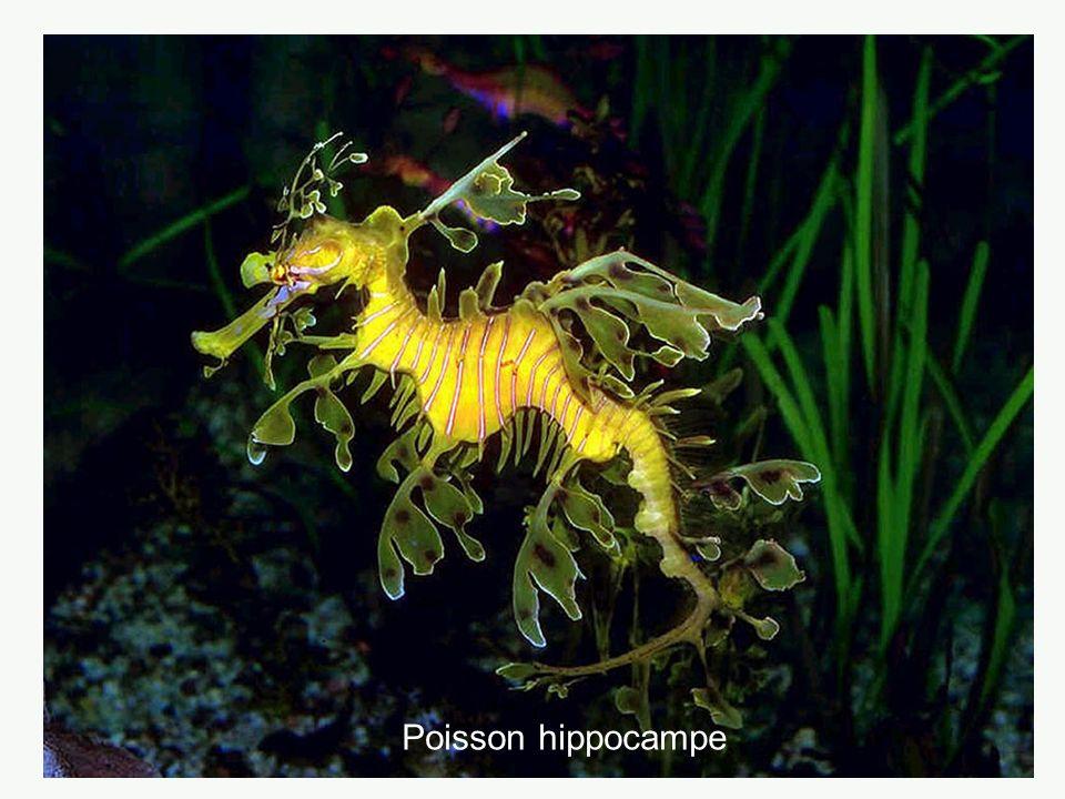 Poisson hippocampe