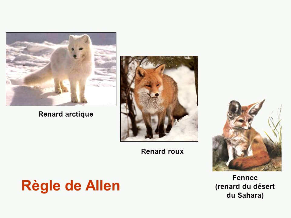 Fennec (renard du désert du Sahara)