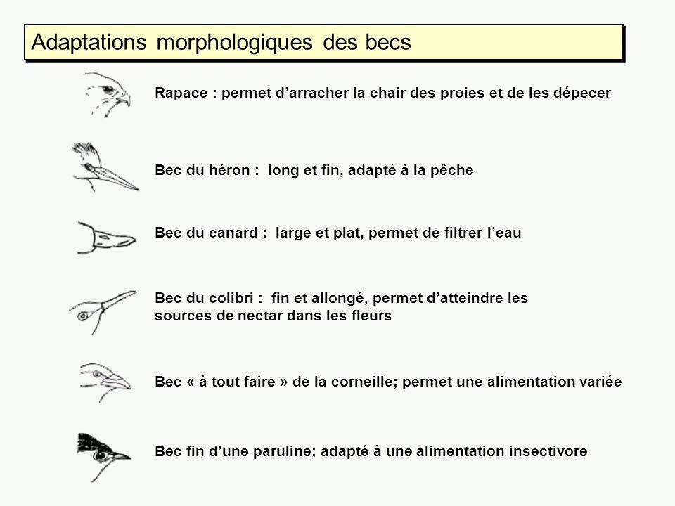 Adaptations morphologiques des becs