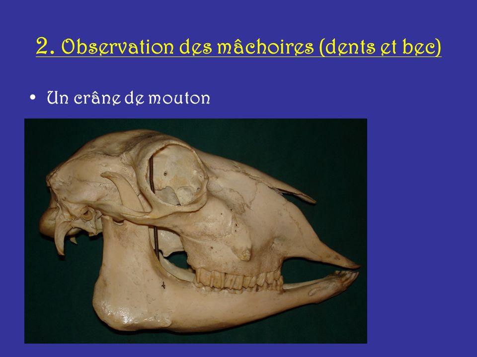 2. Observation des mâchoires (dents et bec)