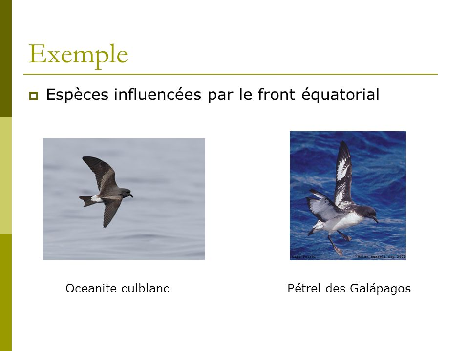 Exemple Espèces influencées par le front équatorial Oceanite culblanc