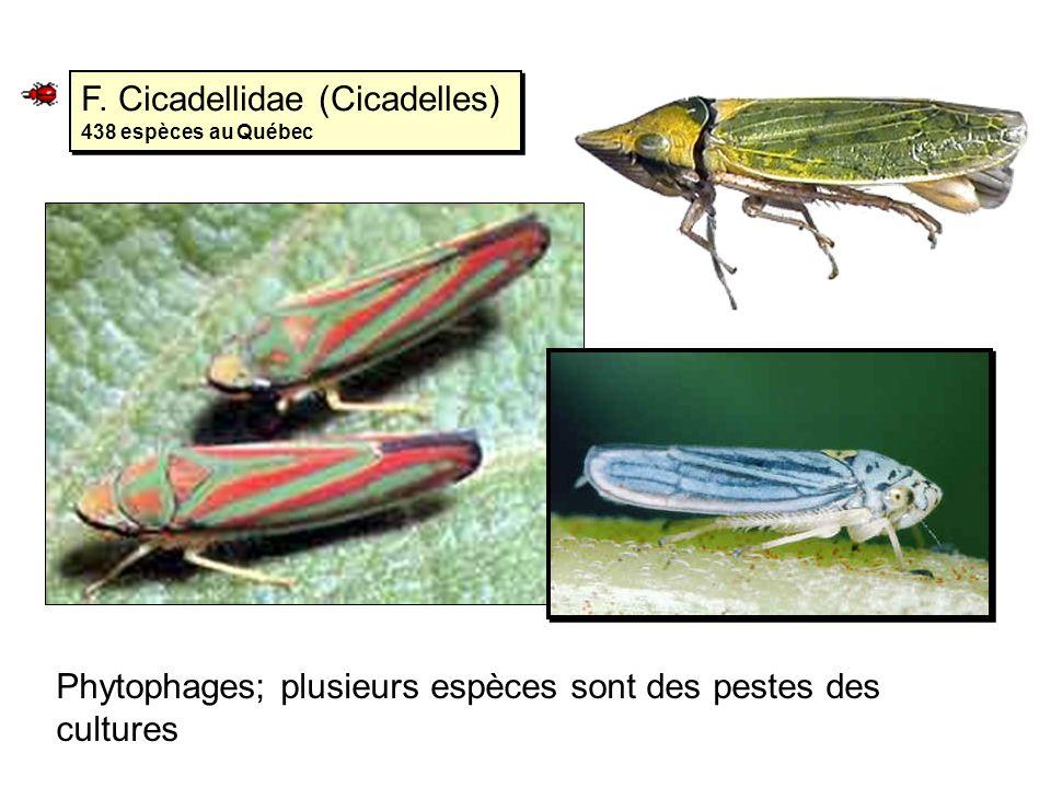 F. Cicadellidae (Cicadelles) 438 espèces au Québec