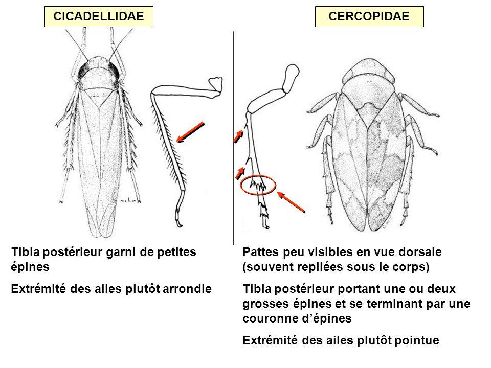 CICADELLIDAE CERCOPIDAE. Tibia postérieur garni de petites épines. Extrémité des ailes plutôt arrondie.