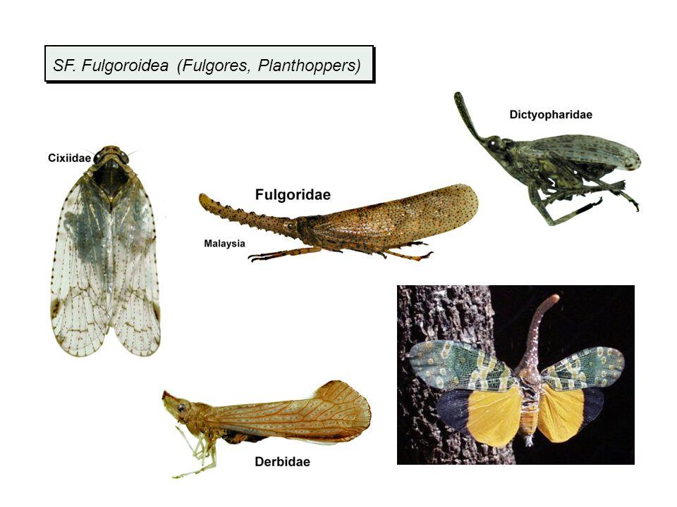 SF. Fulgoroidea (Fulgores, Planthoppers)