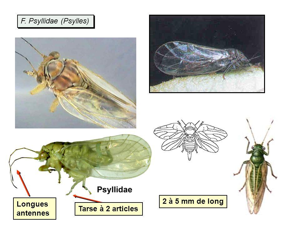 F. Psyllidae (Psylles) 2 à 5 mm de long Longues antennes Tarse à 2 articles
