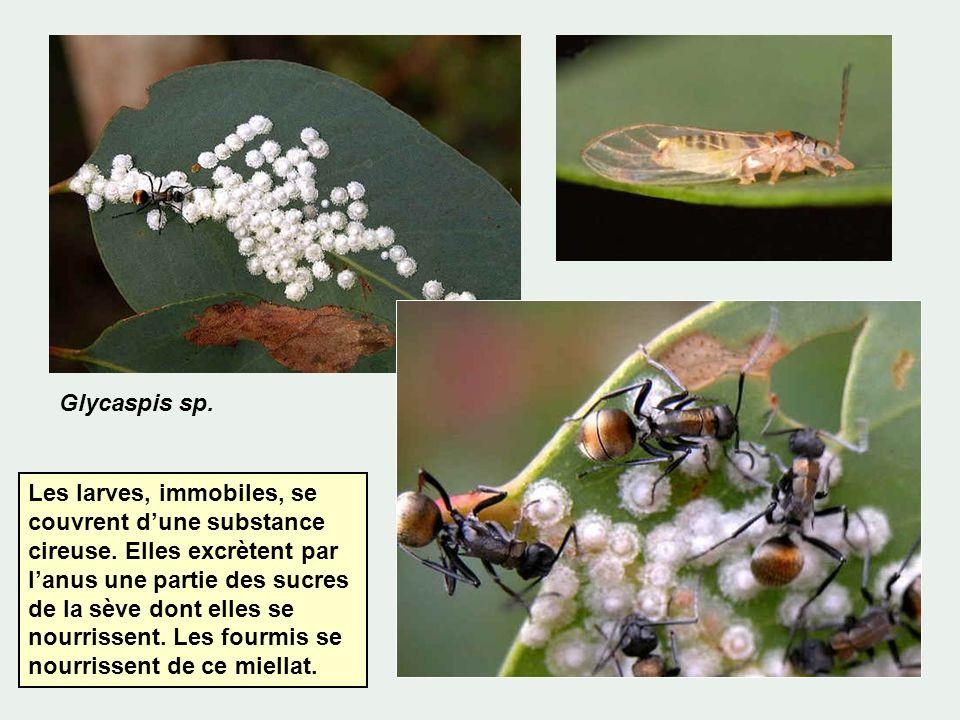 Glycaspis sp.