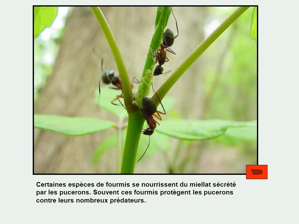 Certaines espèces de fourmis se nourrissent du miellat sécrété par les pucerons.
