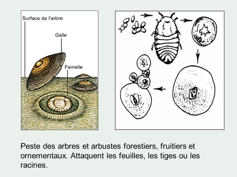 Peste des arbres et arbustes forestiers, fruitiers et ornementaux