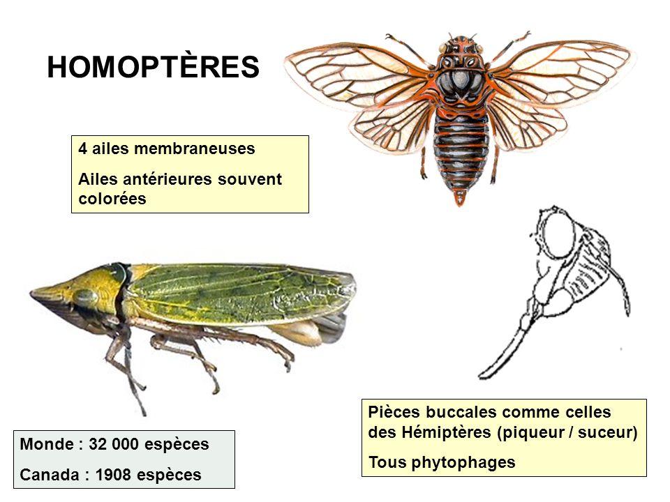 HOMOPTÈRES 4 ailes membraneuses Ailes antérieures souvent colorées