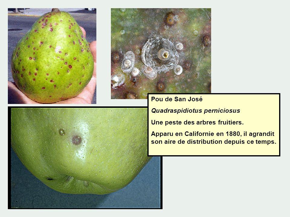 Pou de San José Quadraspidiotus perniciosus. Une peste des arbres fruitiers.